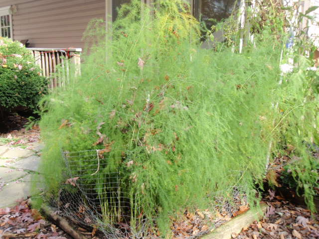 how to grow asparagus fern from cuttings