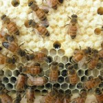 Honey bees caring for larvae and eggs 5-26-12